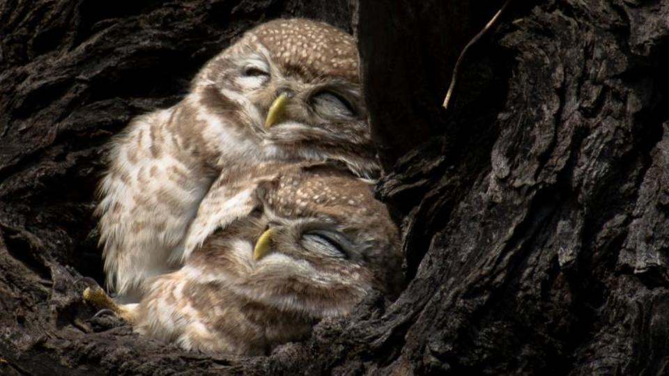 Two owls snuggling in a tree