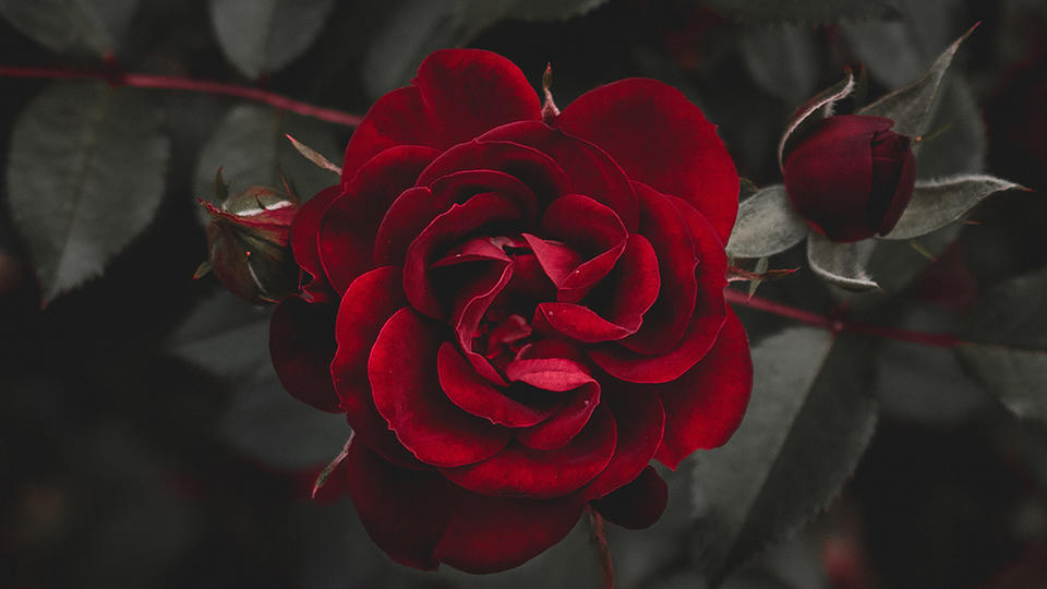 A bloomed red rose over a gloomy background.